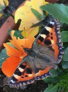 Aileen GaultTortoiseshell Butterfly